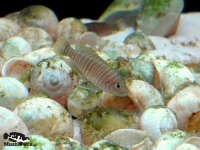 Lamprologus-similis - samiec 2
