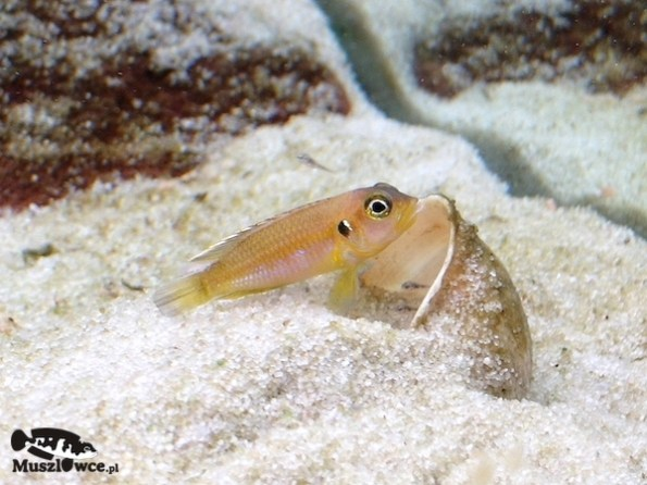 Samica Lamprologus ocellatus gold z młodymi
