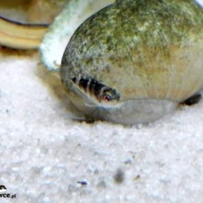 Narybek Lamprologus meleagris