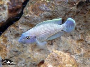 Lamprologus callipterus - samiec