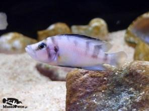 Altolamprologus compressiceps shell Sumbu – samiec