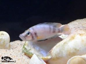 Altolamprologus compressiceps shell Sumbu - samiec