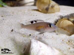 Lamprologus kungweensis - samica