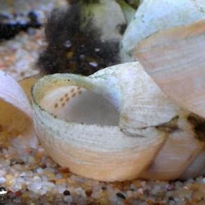 Altolamprologus compressiceps shell Sumbu – ikra