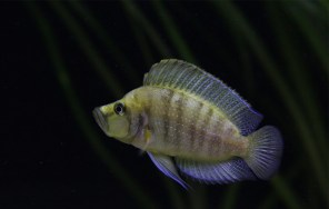 Altolamprologus compressiceps yellow Chaitika