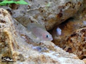 Lamprologus multifasciatus - samiec