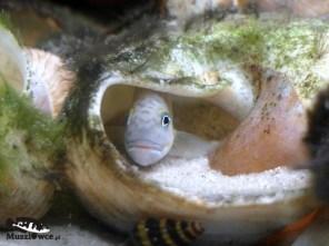Telmatochromis temporalis shell Chaitika - samiec