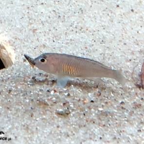 Lamprologus signatus - samica