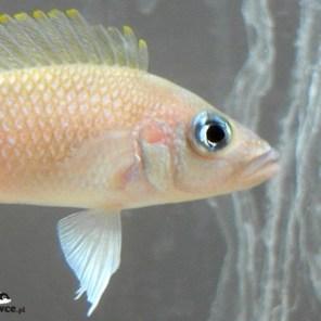"Lamprologus sp. ""caudopunctatus Kipili"" Mvuna"