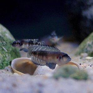 Lamprologus speciosus