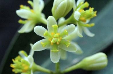 圖四、樟樹的花,雄花期