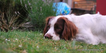Bracken laying by Lavender
