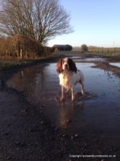 One happy running Springer