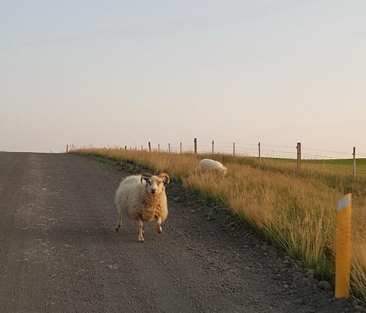 Island mit Kindern: Schafe