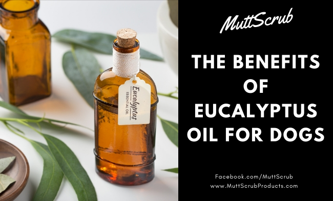 Benefits of Eucalyptus Oil For Dogs