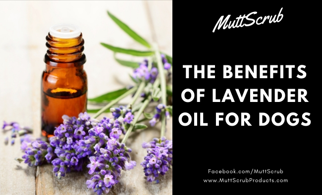 The Many Benefits of Lavender Essential Oil For Dogs