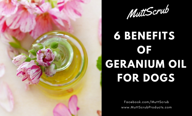 6 Benefits of Geranium Essential Oil For Dogs