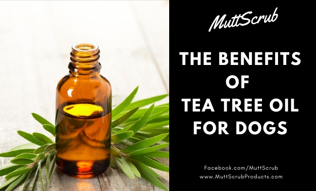 The Powerful Benefits of Tea Tree Oil For Dogs