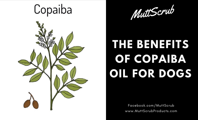 The Benefits of Copaiba Oil For Dogs