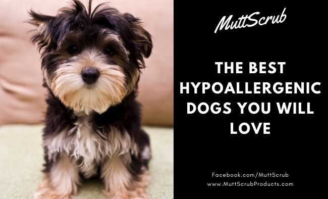 The Best Hypoallergenic Dogs You Will Love If You Have Allergies