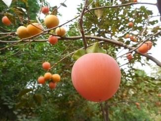 cultivo caqui Agroseguro