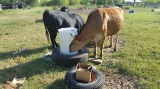 Can double as a cattle, sheep, goat, deer or other wildlife feeder.