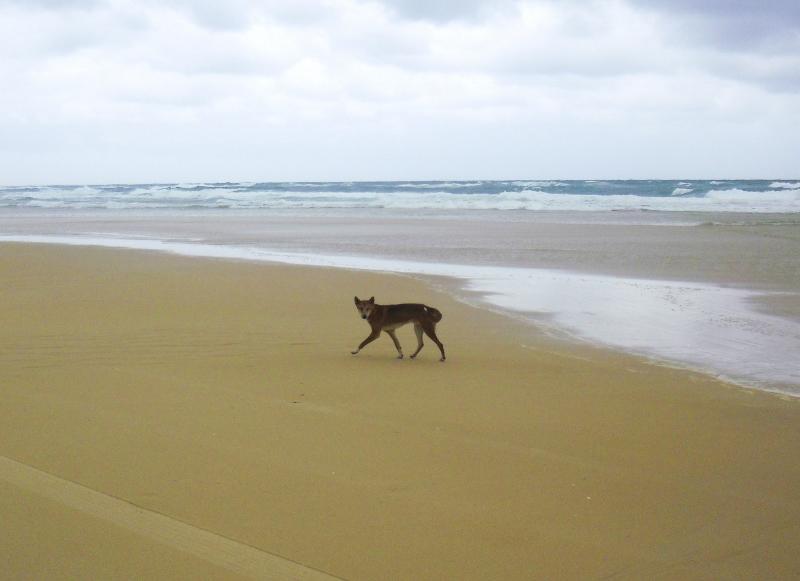 Dingo Fraser Islandilla