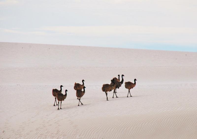 emuja hiekkadyyneillä