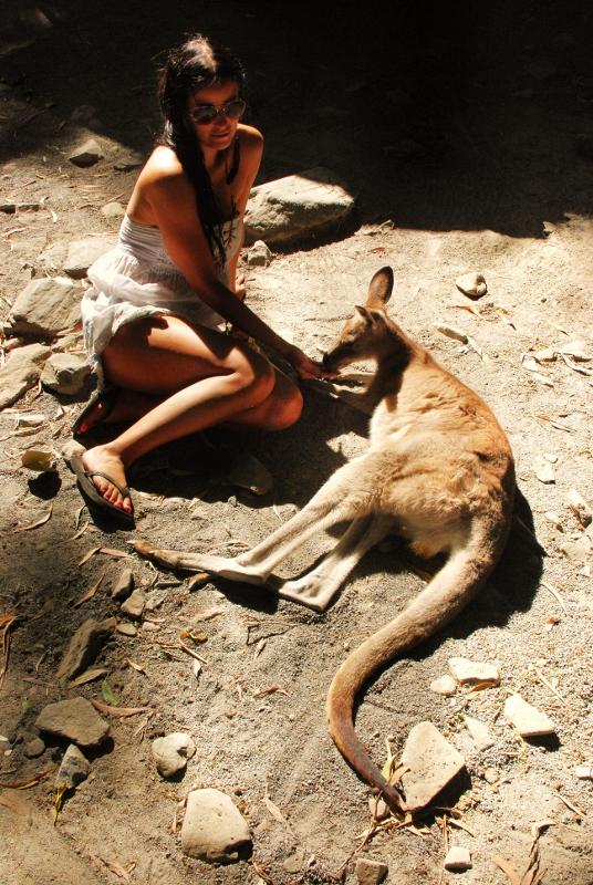 Kenguruita Cairnsin eläintarhassa