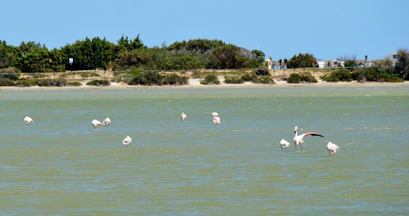 Sardinian flamingoja
