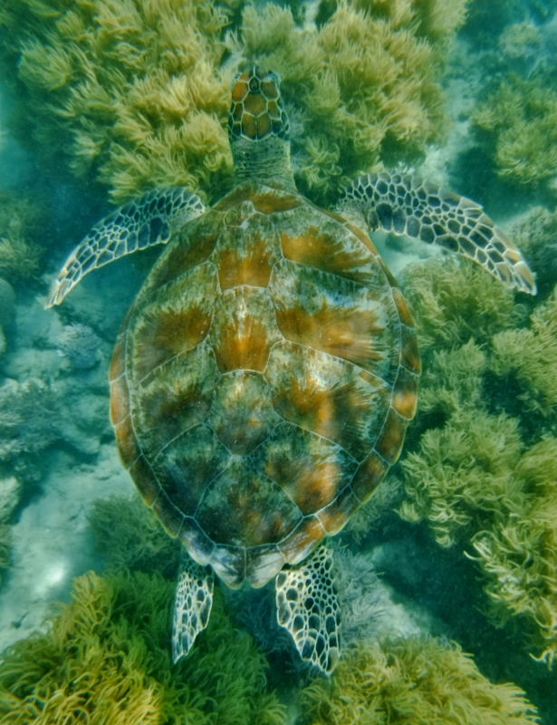 Green turtle on Green Island, Cairns