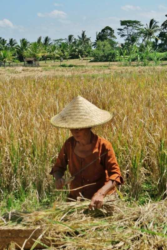 riisin sadonkorjuuta Balilla