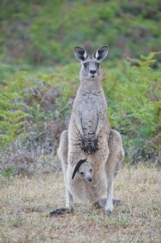 Äitikenguru vauva pussissaan