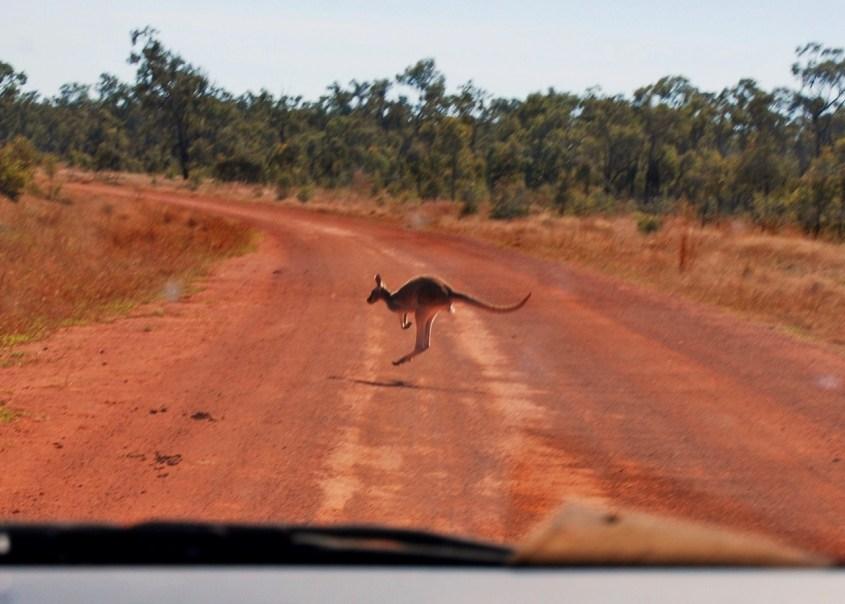 kenguru loikkii tiellä