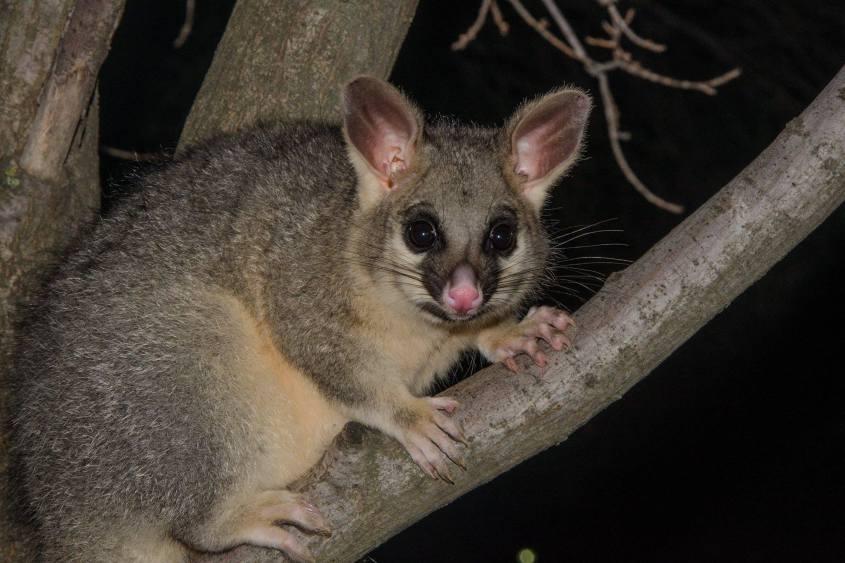 australian opossumi puussa