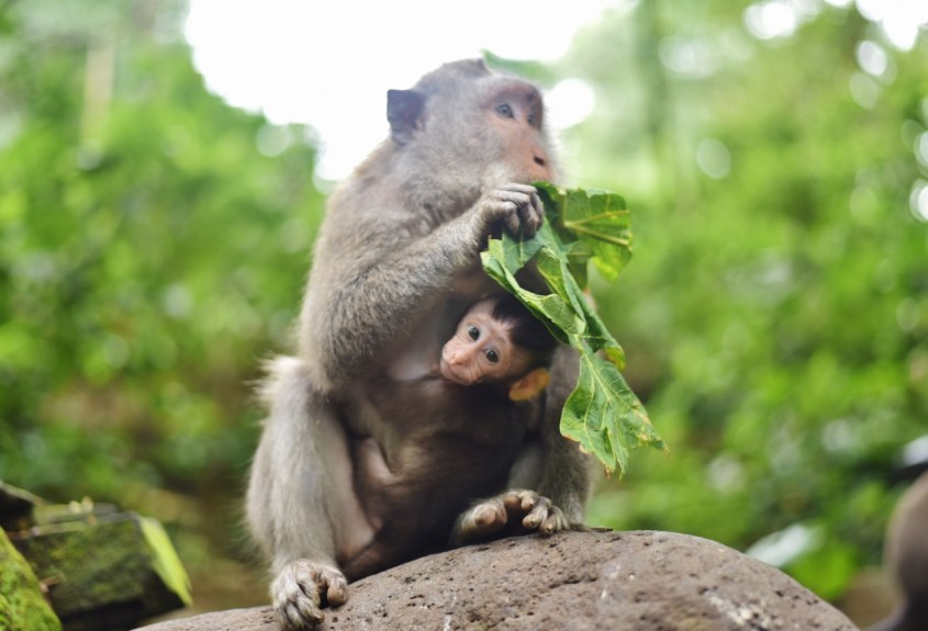 Ubudin apinametsässä Balilla