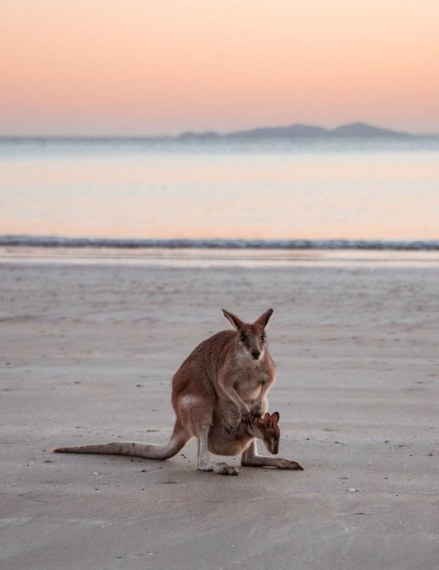 Vauvakenguru pussissa