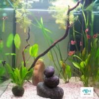 Plantas del acuario para  peces escalares