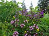 Assorted Alpine Wildflowers