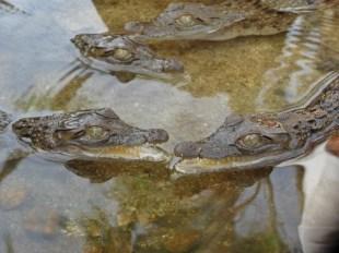 Baby Freshwater Crocs