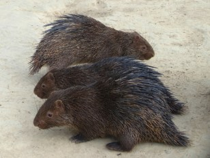 Durian Porcupines