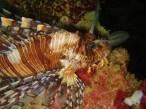 Olympia Maru, Lionfish