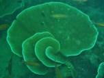 Taiei Maru, Plate Coral