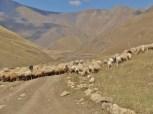 Sheep Everywhere