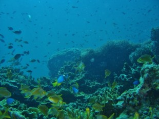Shallow Reef, Pescador Island East, Moalboal