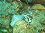 Okikawa Nudibranch Pair