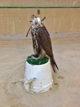 Falcon for Sale