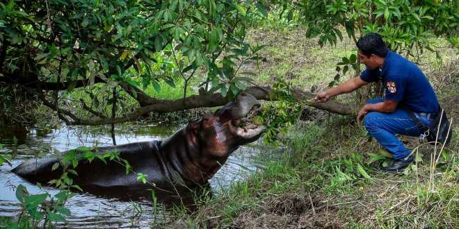 Hippo roaming loose for months in southern Mexico – Greenwich Time