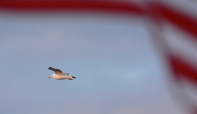 Gull heading west with American Flad in foreground
