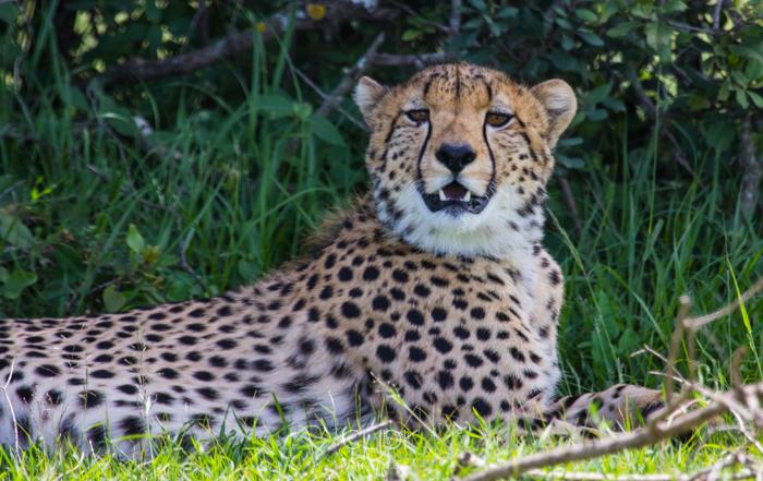 Ol_Pejeta_Animals-Cheetah-01